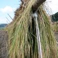 稲のはざかけ
