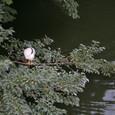 鷺(サギ)を発見!